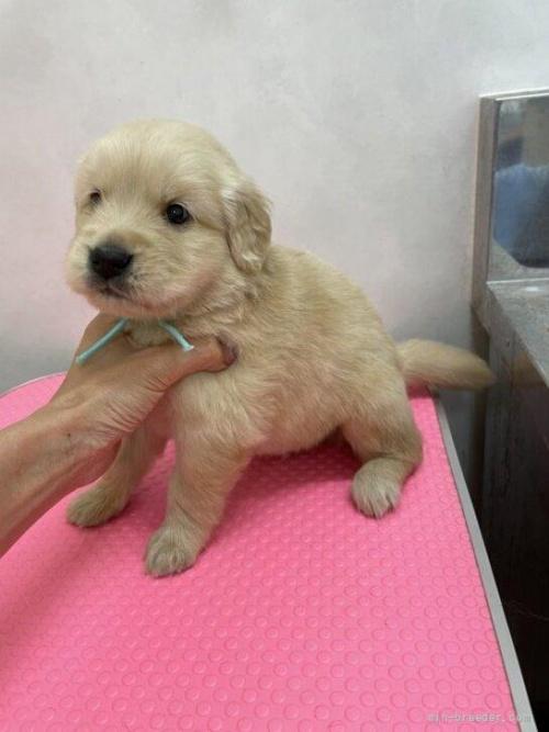 ゴールデンレトリバーの子犬(ID:1259811151)の2枚目の写真/更新日:2017-10-26