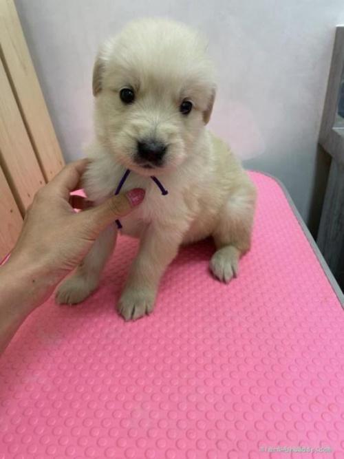 ゴールデンレトリバーの子犬(ID:1259811152)の2枚目の写真/更新日:2017-10-26