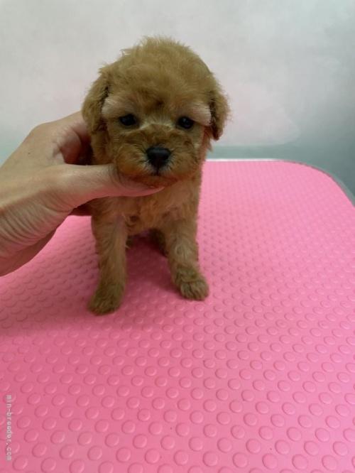 トイプードルの子犬(ID:1259811153)の1枚目の写真/更新日:2017-11-22