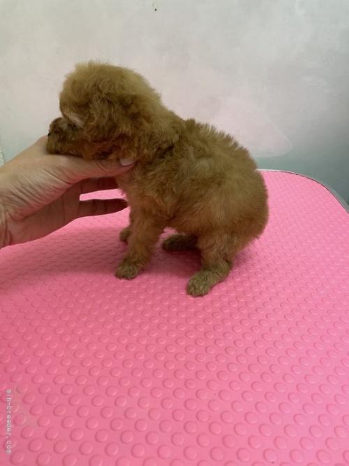 トイプードルの子犬(ID:1259811153)の2枚目の写真/更新日:2017-11-22