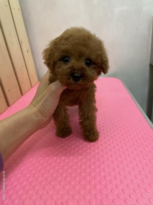トイプードルの子犬(ID:1259811154)の1枚目の写真/更新日:2017-12-28
