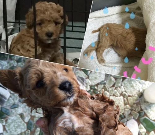 トイプードルの子犬(ID:1259911001)の1枚目の写真/更新日:2015-10-17