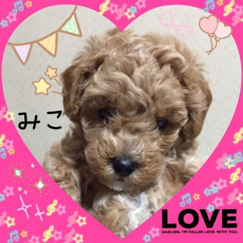 トイプードルの子犬(ID:1259911001)の2枚目の写真/更新日:2015-12-16