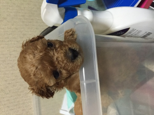 トイプードルの子犬(ID:1259911007)の2枚目の写真/更新日:2015-11-18