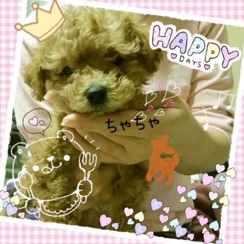トイプードルの子犬(ID:1259911007)の3枚目の写真/更新日:2015-12-16