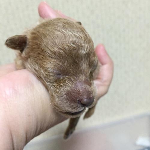 トイプードルの子犬(ID:1259911008)の1枚目の写真/更新日:2015-11-04