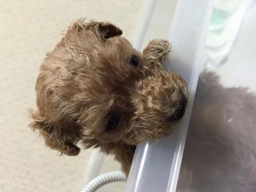 トイプードルの子犬(ID:1259911008)の2枚目の写真/更新日:2015-11-18