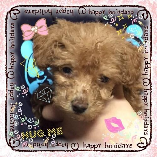 トイプードルの子犬(ID:1259911008)の3枚目の写真/更新日:2015-12-16
