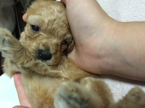 トイプードルの子犬(ID:1259911009)の1枚目の写真/更新日:2015-11-14