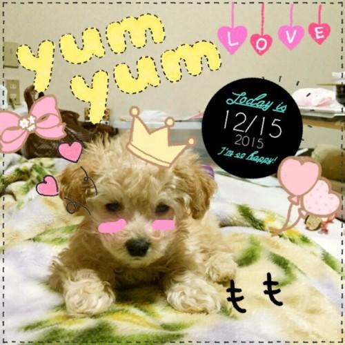 トイプードルの子犬(ID:1259911009)の2枚目の写真/更新日:2015-12-16