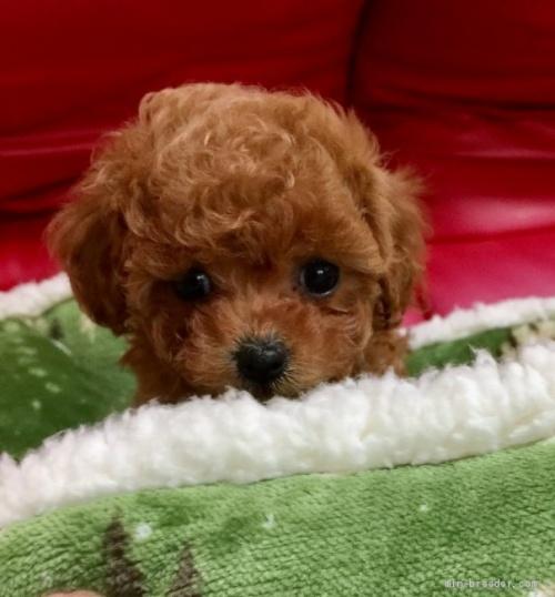 トイプードルの子犬(ID:1260111001)の1枚目の写真/更新日:2018-07-16