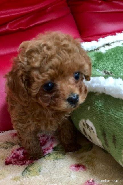 トイプードルの子犬(ID:1260111001)の2枚目の写真/更新日:2018-07-16