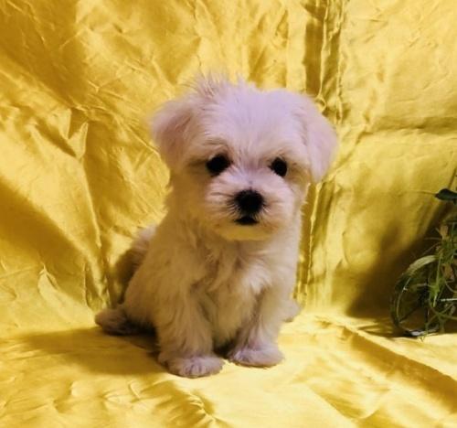 マルチーズの子犬(ID:1260611005)の3枚目の写真/更新日:2018-10-08