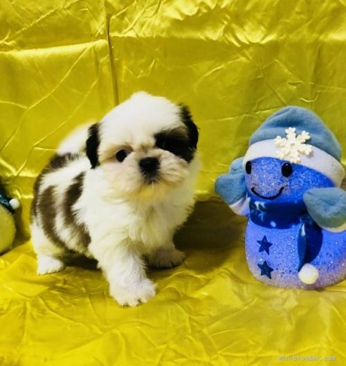シーズーの子犬(ID:1260611007)の1枚目の写真/更新日:2020-01-22