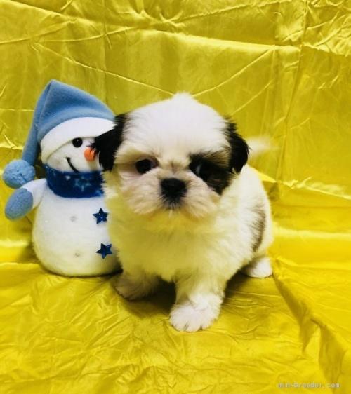 シーズーの子犬(ID:1260611007)の2枚目の写真/更新日:2020-01-22