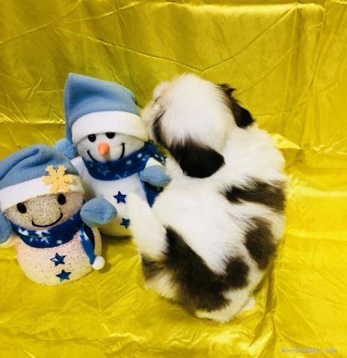 シーズーの子犬(ID:1260611007)の3枚目の写真/更新日:2020-01-22