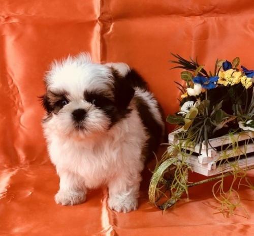 シーズーの子犬(ID:1260611008)の2枚目の写真/更新日:2018-06-22