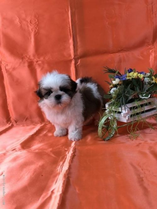 シーズーの子犬(ID:1260611008)の3枚目の写真/更新日:2018-06-22