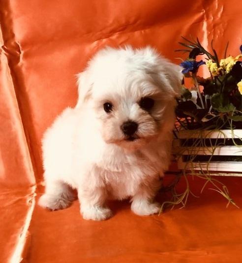 マルチーズの子犬(ID:1260611013)の4枚目の写真/更新日:2018-07-02