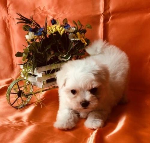 マルチーズの子犬(ID:1260611013)の5枚目の写真/更新日:2018-07-02
