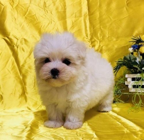 マルチーズの子犬(ID:1260611014)の3枚目の写真/更新日:2018-07-02