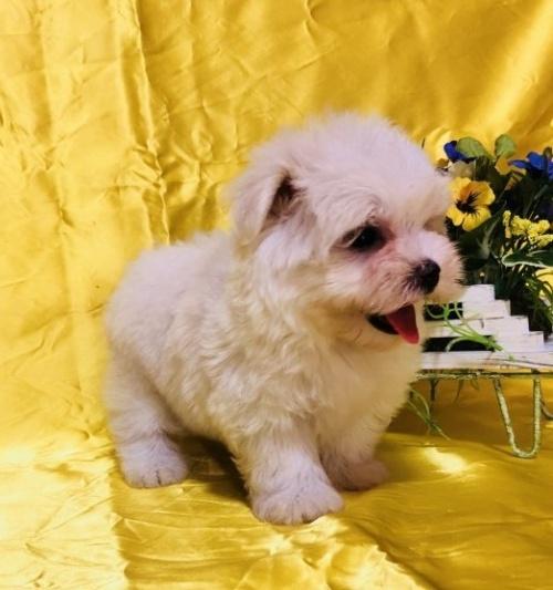 マルチーズの子犬(ID:1260611014)の4枚目の写真/更新日:2018-07-02