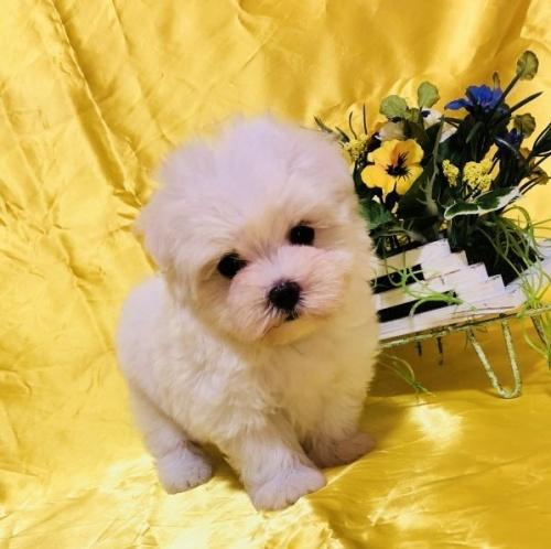 マルチーズの子犬(ID:1260611014)の5枚目の写真/更新日:2018-07-02