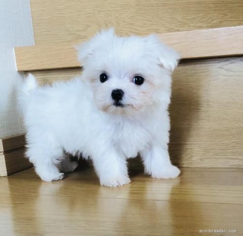 マルチーズの子犬(ID:1260611015)の2枚目の写真/更新日:2018-07-13