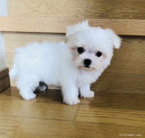 マルチーズの子犬(ID:1260611015)の4枚目の写真/更新日:2018-07-13