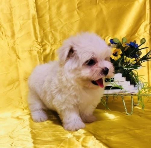 マルチーズの子犬(ID:1260611020)の4枚目の写真/更新日:2018-07-13