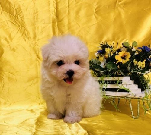 マルチーズの子犬(ID:1260611020)の5枚目の写真/更新日:2018-07-13