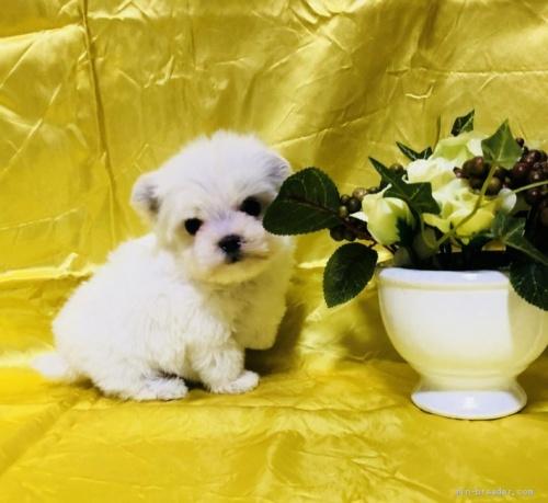 マルチーズの子犬(ID:1260611028)の1枚目の写真/更新日:2020-02-24
