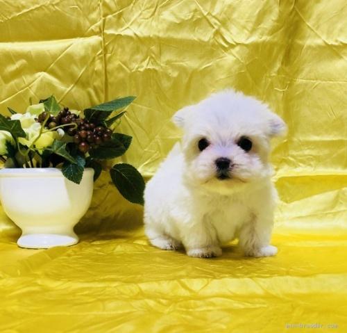 マルチーズの子犬(ID:1260611028)の2枚目の写真/更新日:2020-02-24