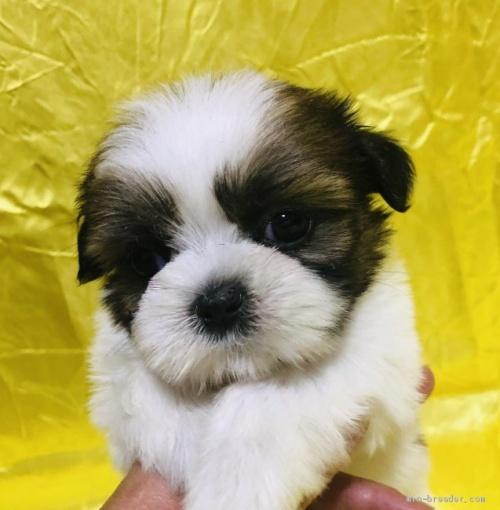 シーズーの子犬(ID:1260611030)の1枚目の写真/更新日:2020-05-23