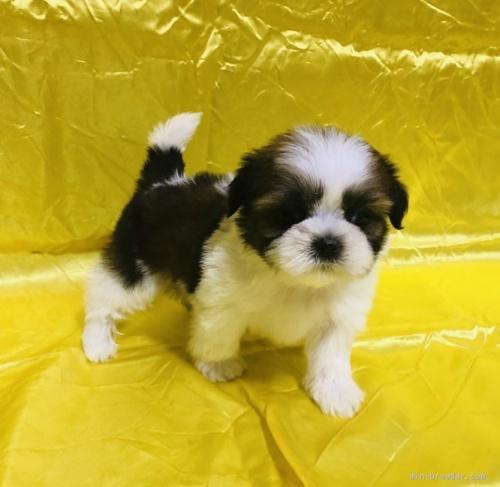 シーズーの子犬(ID:1260611030)の2枚目の写真/更新日:2020-05-23