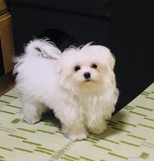 マルチーズの子犬(ID:1260611031)の1枚目の写真/更新日:2021-09-19