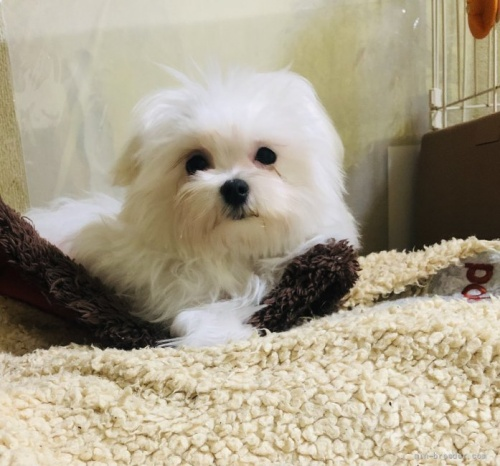 マルチーズの子犬(ID:1260611031)の2枚目の写真/更新日:2021-09-19