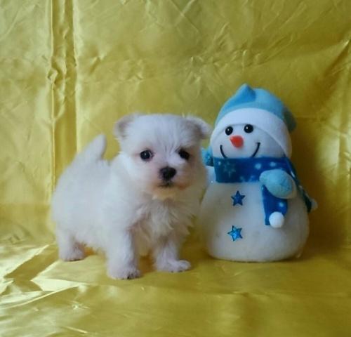 マルチーズの子犬(ID:1260611035)の2枚目の写真/更新日:2017-01-09