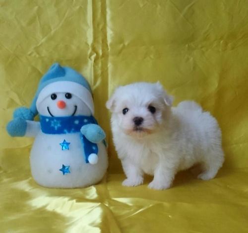 マルチーズの子犬(ID:1260611036)の1枚目の写真/更新日:2017-01-09