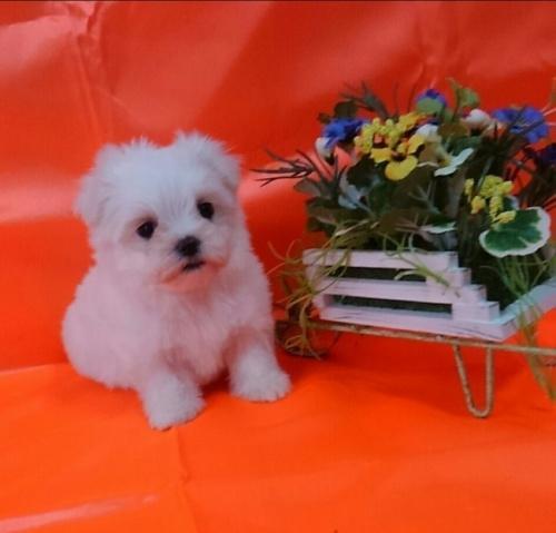 マルチーズの子犬(ID:1260611039)の1枚目の写真/更新日:2017-01-24