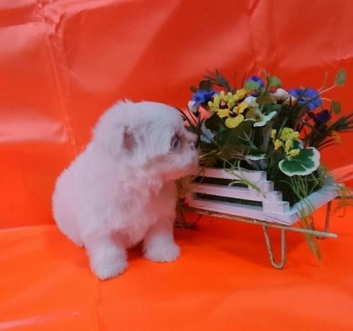 マルチーズの子犬(ID:1260611039)の3枚目の写真/更新日:2017-01-24