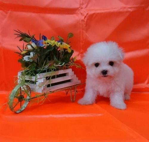 マルチーズの子犬(ID:1260611040)の2枚目の写真/更新日:2017-01-24