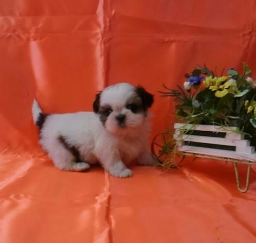 シーズーの子犬(ID:1260611041)の2枚目の写真/更新日:2017-02-13