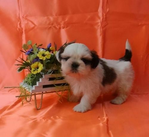 シーズーの子犬(ID:1260611042)の1枚目の写真/更新日:2017-02-13