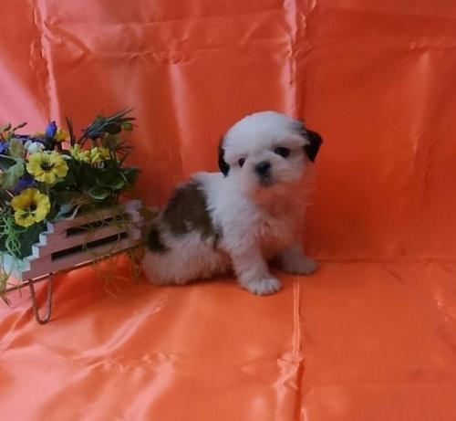 シーズーの子犬(ID:1260611043)の1枚目の写真/更新日:2017-02-13