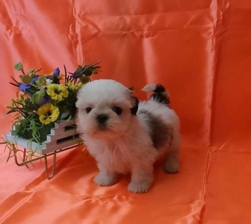 シーズーの子犬(ID:1260611043)の2枚目の写真/更新日:2017-02-13