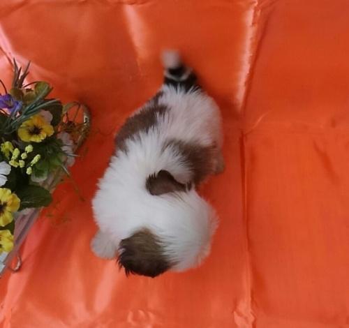 シーズーの子犬(ID:1260611043)の3枚目の写真/更新日:2017-02-13