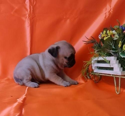 パグの子犬(ID:1260611044)の2枚目の写真/更新日:2017-02-13