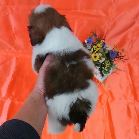 シーズーの子犬(ID:1260611045)の3枚目の写真/更新日:2017-02-23