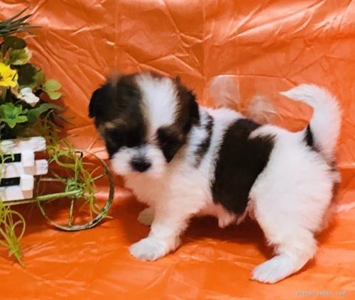 シーズーの子犬(ID:1260611046)の1枚目の写真/更新日:2020-05-18